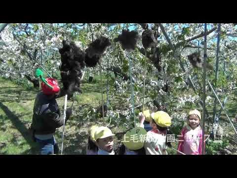 サクランボ授粉 気分はミツバチ 沼田で園児体験