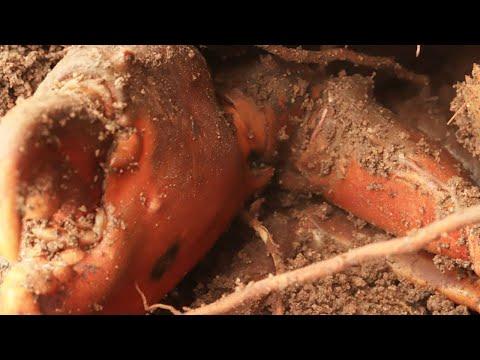 這個蟹洞出奇的大,挖到洞底,一不小心挖到老青蟹祖宗了直接爆桶【海村小梅】