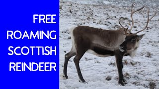 Wild Reindeer in Snowy Scotland (See how friendly they are!)