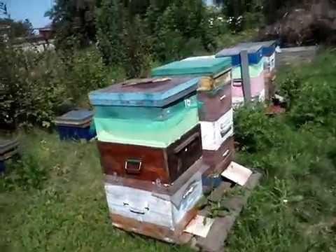 Отбор мёда с подсолнуха 11 августа 2019