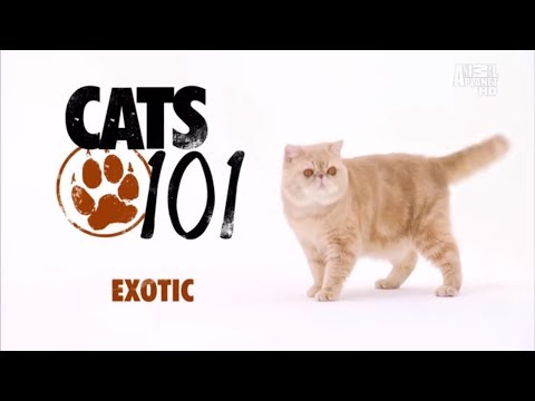 Экзотическая короткошерстная кошка 101Kote.ru Exotic 101Cats