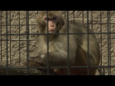 Giving monkeys a break: More research monkeys are being retired to sanctuaries when their work is done, but funding and quality of care are the biggest roadblocks. (June 13)