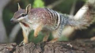 Interesting facts about numbat  by weird square