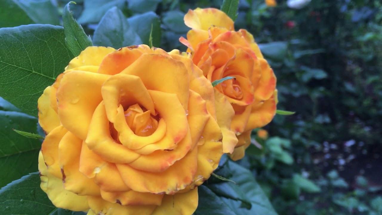 Роза Керио, третья волна цветения! Желтое чудо!