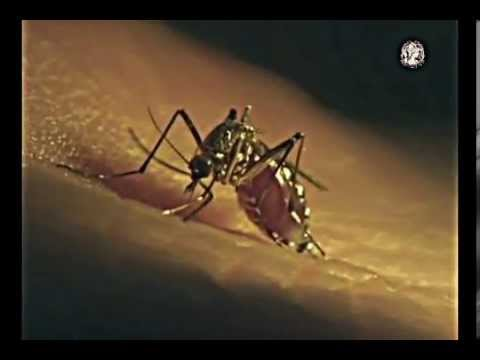 Mosquito Life Cycle Mp3