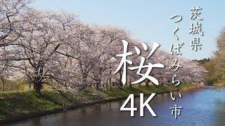 【絶景茨城】桜[4K]茨城県つくばみらい市|VISIT IBARAKI, JAPAN