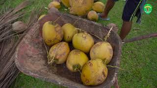 Kelapa, Produk Komoditi Tradisional Yang Berada Hampir di Seluruh Kalimantan Timur