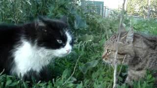 Коты орут дуэтом!