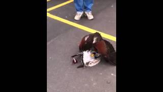 Смотреть онлайн Ястреб убивает чайку и ест ее