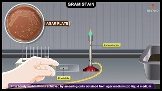 Gram Staining Procedure Animation Microbiology - Principle, Procedure, Interpretation