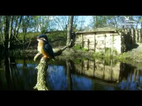 Kingfishers: Meeting on the Branch - 02.04.17