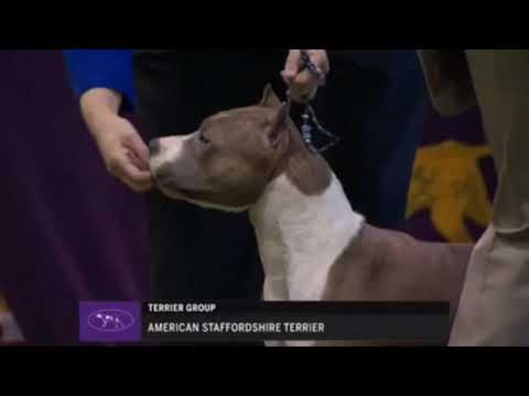 WESTMINSTER KENNEL CLUB 2018 American Staffordshire terrier