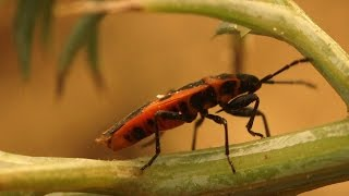 The Red Bug is Here - Should We Worry?