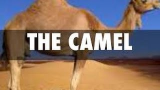 Adaptations of  the Camels ( desert animals) -For Kids