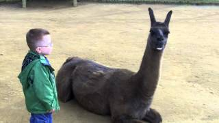 Llama spits in kid\'s face