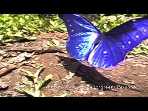 レテノールモルフォの舞 Rhetenor blue morpho