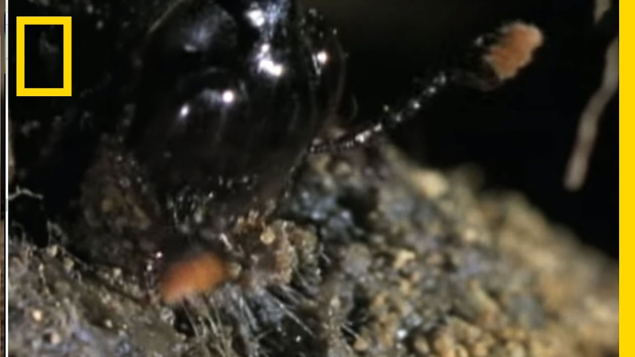Burying Beetles Turn Carcass into Baby Food | National Geographic thumbnail