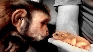 Monkey Meets Hamsters (Face to Face)