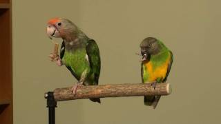 Truman Cape Parrot Shares a Perch With Kili Senegal Parrot