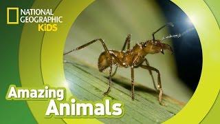 Army Ant 🐜 | Amazing Animals