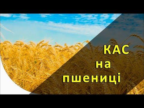 КАС на пшенице