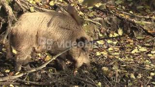 WILD BOAR IN THE ANTHERING FOREST NEAR BY SALZBURG AUSTRIA AUTUMN R21LDINXE