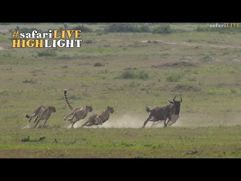 Five male cheetah race to the sound of the dinner bell