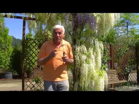 VOL.AT-Gartentipp: Die Glyzinie