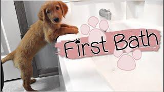 Golden Retriever Puppys First Bath!