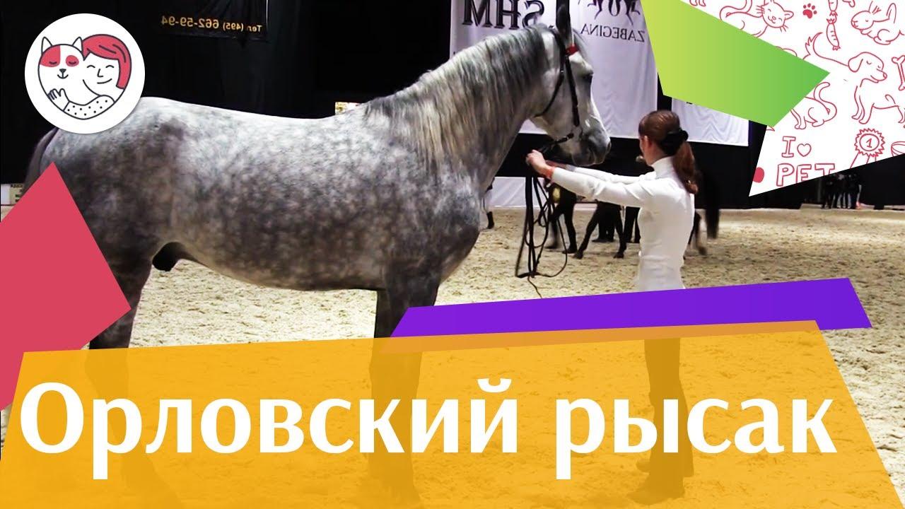 ЛОШАДИ Орловский рысак 3 ЭКВИРОС 2016 на ilikepet