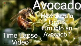 Grafted Avocado Tree - How does Pollination Work? (Time Lapse)