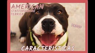 El American Staffordshire Terrier Como Mascota