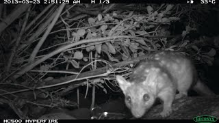 What do we know about quolls in the Pilbara?
