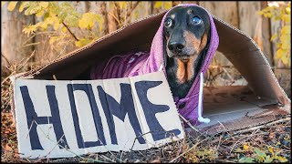 Cant Find My Home! Cute & Funny Dachshund Dog Video!