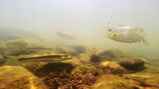 Fish of the Gambia River, Senegal, West Africa