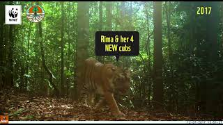Captured Camera: Two Generation of Sumatran Tiger Family, Successfully Proliferates Well (TEXT)