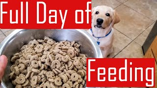 Full Day of Feeding our Labrador Puppy - What My Dog Eats in a Day (Food Chart)
