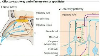 Olfactory Pathway - Location of olfactory epithelium in the nasal cavity