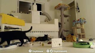 Sigma plays for the first time!  TinyKittens.com