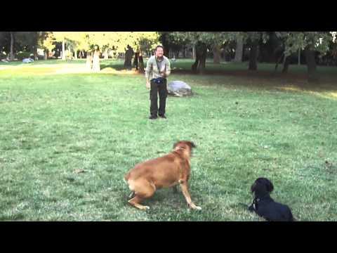 Far rimanere fermi due cani al parco.