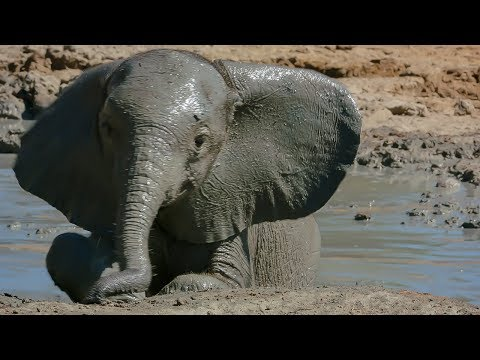 Download Baby Elephant Takes Her First Bath | BBC Earth HD Mp4 3GP Video and MP3