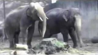 Elephant has trouble with his cumshot