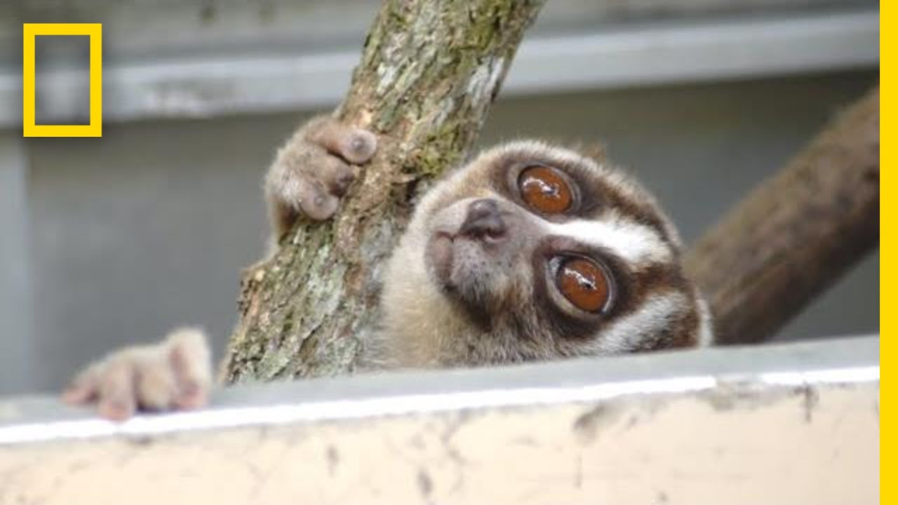 Rescuers Release 20 Javan Slow Lorises Back Into The Wild | National Geographic thumbnail
