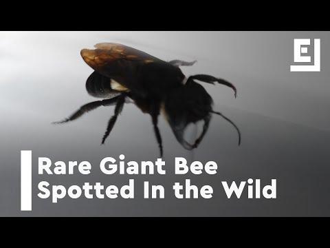 العرب اليوم - شاهد: إعادة اكتشاف أكبر نحلة في العالم بعد اختفائها عام 1981