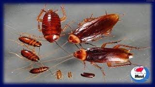 Como matar cucarachas trucos caseros - Como acabar o eliminar las cucarachas