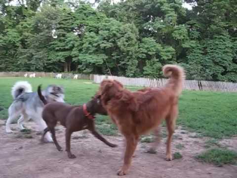 Anteprima Video Guardate come gioca questo Pit Bull