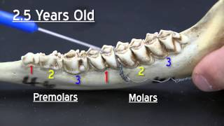 Age Determination in White-Tailed Deer FNR-508-WV