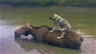 Animals save each other. Amazing cases of mutual assistance between animals