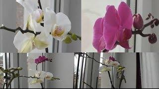 Новости про мои орхидеи в ноябре  Цитикининовая паста News about my orchids in November Cytokinin pa