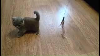 Красавица Тиффани! Британские котята питомника. Элитные британцы.